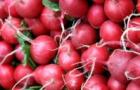 Scharf und knackig: Radieschen sorgen für mehr Gesundheit im Frühjahr